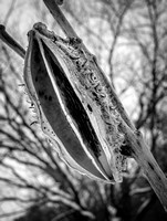 Dried-Seed-Pod-BW