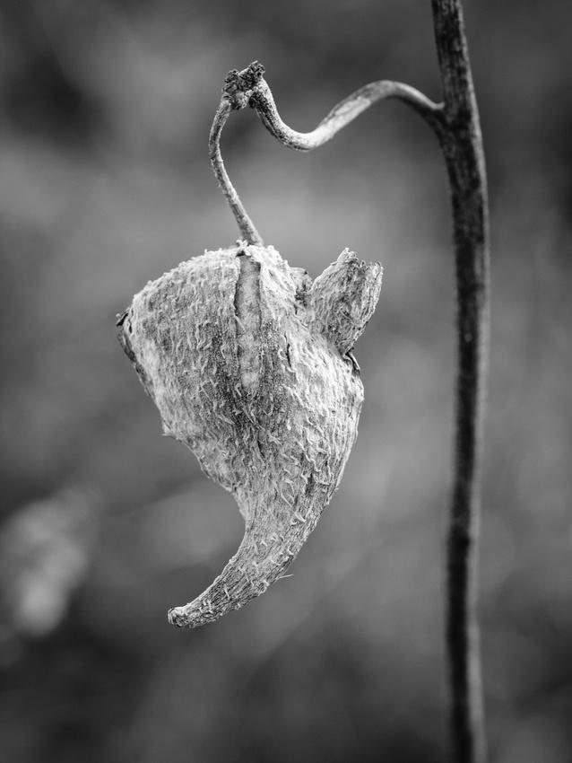 Milkweed-Pod