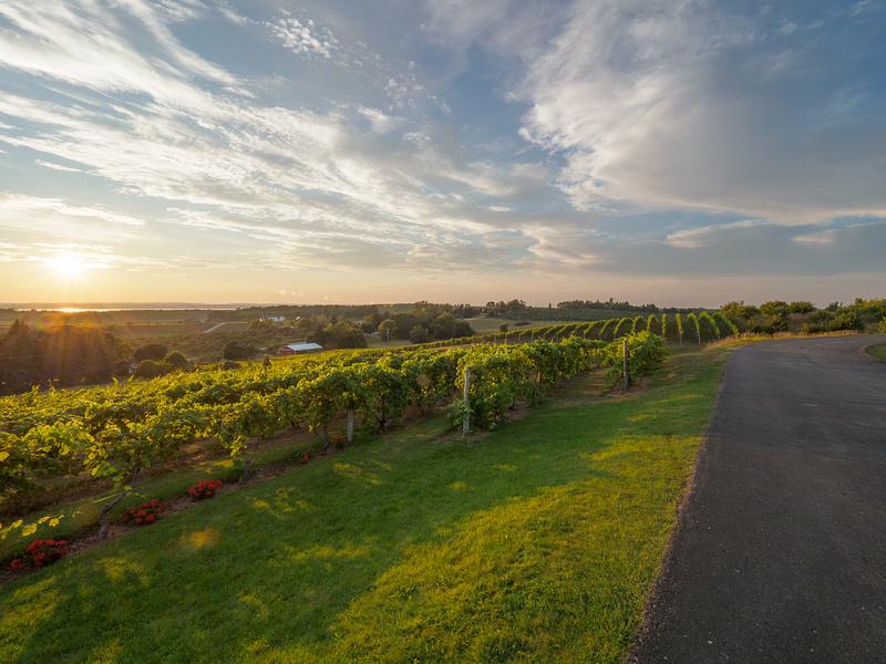 Sun-Setting-over-Vineyards