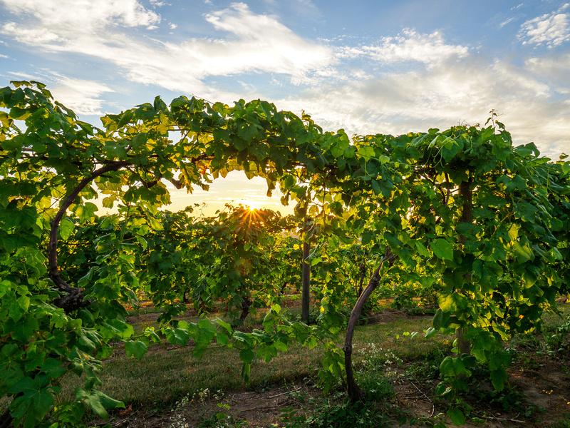 Sunset-at-Old-Mission-Peninsula-Vineyard-1