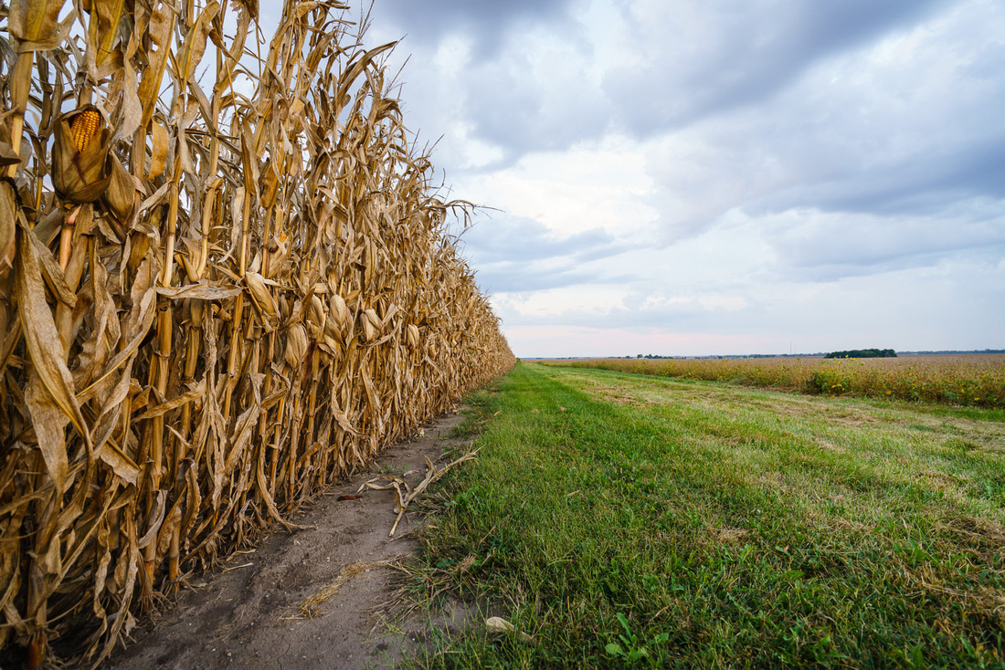 Plentiful Corn Crop