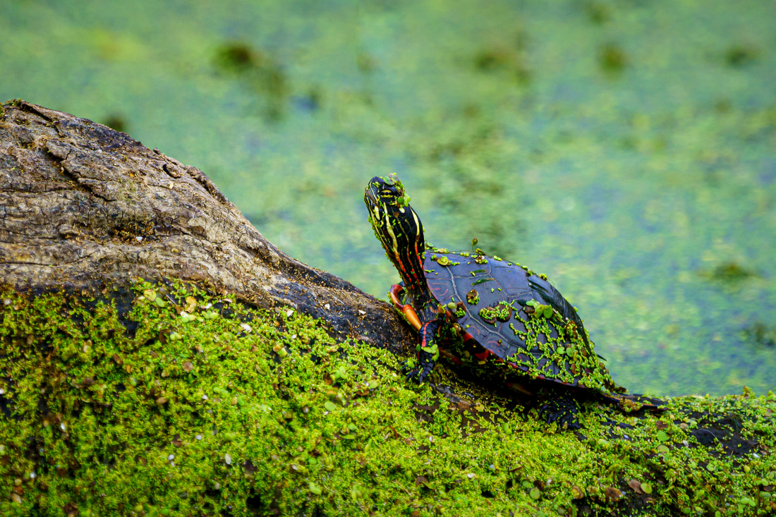 Small Turtle on a Log